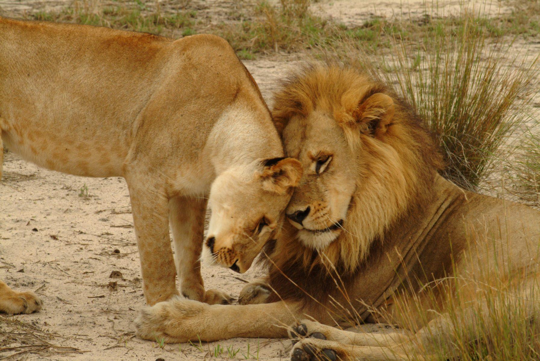 Un gruppo di leoni e leonesse nel Delta dell'Okavango